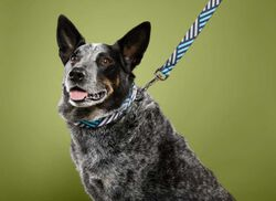KEEN Dog Collar in  - on-body view.
